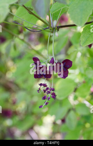 Akebia quinata flowers. - Stock Image
