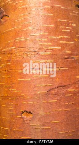 European birch ( betula ) bark ( cambium ) - Stock Image