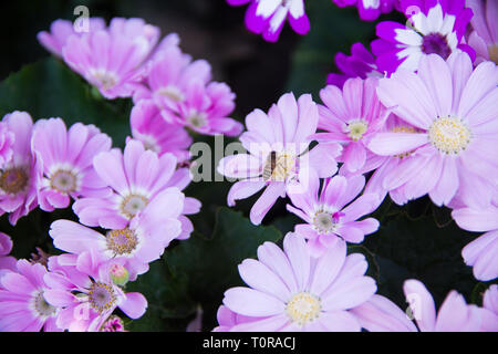 Garden white flower and a honey bee collecting honey - Stock Image