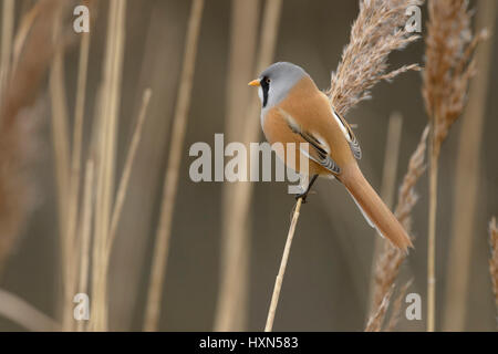 Bearded tit or bearded reedling (Panurus biarmicus) adult male in reedbed. Norfolk, England. February. - Stock Image