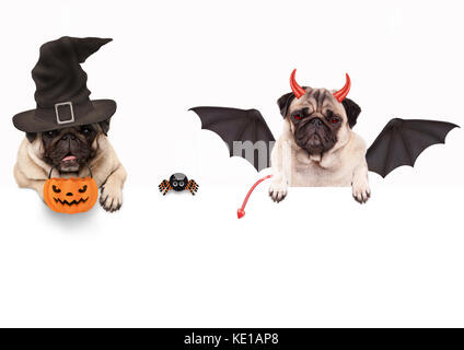 funny pug dog dressed up for halloween with spider and pumpkin basket, isolated objects on white background - Stock Image