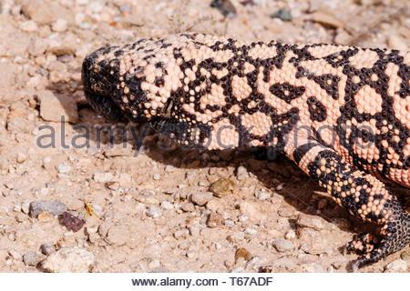 Gila Monster,  Heloderma suspectum, in Arizona USA - Stock Image
