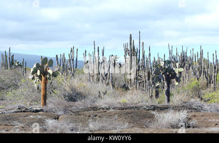 Opuntia or  prickly pear (Opuntia saxicola) grow among lava boulders and thorny shrubs in the arid zone of Isabela. - Stock Image