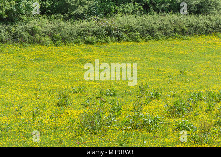Field of invasive Creeping Buttercups (Ranunculus repens) on a sunny Summer's day. Invasive weeds or invasive plants concept. - Stock Image