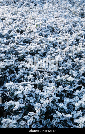 Close up of thick frost often known as radiation frost or hoarfrost on leaves on the top of a hedge, this type of frost forms when the object becomes  - Stock Image