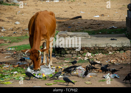 Poverty in Chennai, India, where a cow, a stray dog and a crow pick at old food scraps - Stock Image