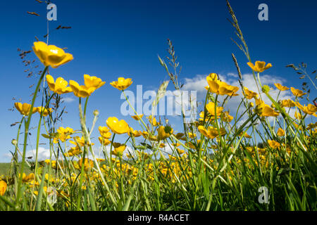 Field full of buttercups and wild grasses against a blue sky in the North York Moors national park - Stock Image