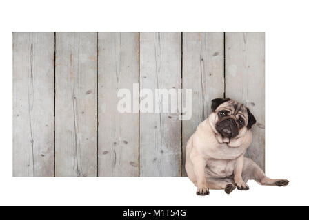 cute pug puppy dog sitting in front of blank wooden fence promotional sign of scaffolding wood, isolated on white - Stock Image