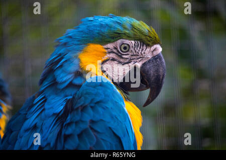 Close-up of a Blue and Yellow Macaw Parrot. - Stock Image