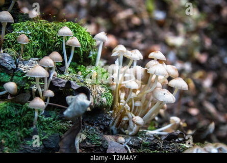 A group of small white-brown mushrooms grow on a log in rural Shropshire, England. - Stock Image