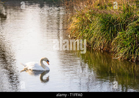 A mute swan (Cygnus olor) swimming on a calm river with open water and a small section of bank visible - Stock Image