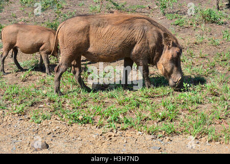 Herd of warthog eating grass around a mud hole of a dried up river in the Hluhluwe–iMfolozi Park South Africa - Stock Image