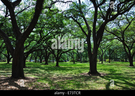 Live oak tree. - Stock Image