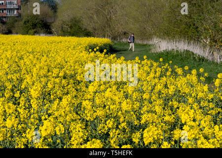 People walk through rapeseed fields in Warwickshire, UK, 11 April 2019. - Stock Image