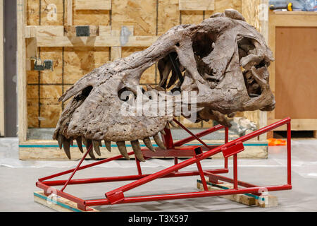 Glasgow, UK. 12th Apr 2019. For 15 weeks from Thursday 18th April 2019, Glasgow's Kelvin Hall will host the world's only real touring TYRANNOSAURUS REX skeleton. The 39foot long skeleton weighing 5000kg (the same as 4 Mini Coopers) is an incredibly rare and important fossil and at the Kelvin Hall will form the centrepiece of the 'T.Rex in Town' major interactive exhibition to educate visitors on the history of this iconic and ferocious dinosaur species. The skeleton is being assembled by FRED DEURHAN and REMMERT SCHOUTEN from Naturalis Biodiversity Centre Credit: Findlay/Alamy Live News - Stock Image