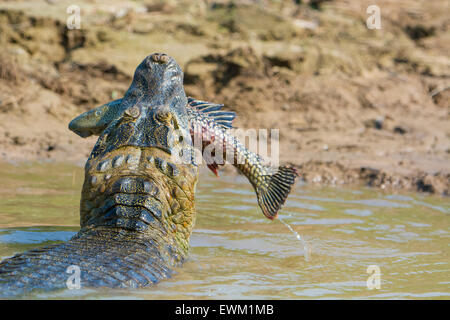 Yacare Caiman, Caiman crocodilus yacare, with a fish in its mouth, on the bank of a river in the Pantanal, Mato - Stock Image