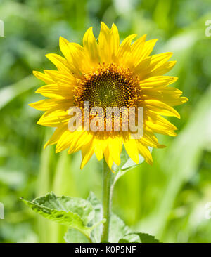 A beautiful sunflower (Helianthus) growing on a sunny day - Stock Image