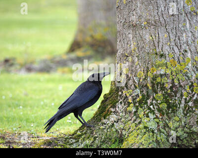 Carrion Crow (Corvus corone) searching for grubs and insects hiding under bark on a tree trunk, Bedfordshire, England, UK - Stock Image