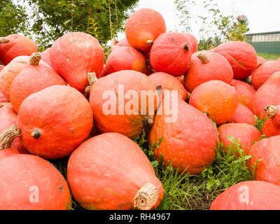 Hubbard Squash for sale: A large pile of red and orange hubbard squash on sale at a farm near Douglas, near Renfrew. - Stock Image