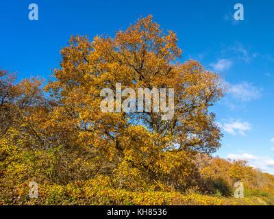 Autumn leaves on Oak Tree - France. - Stock Image