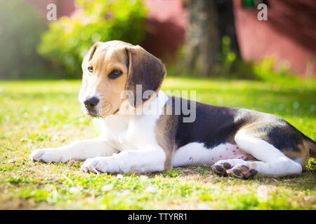 puppy beagle dog laying on the grass - Stock Image