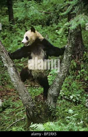 Giant panda plays in fork of tree, Wolong, China, June - Stock Image