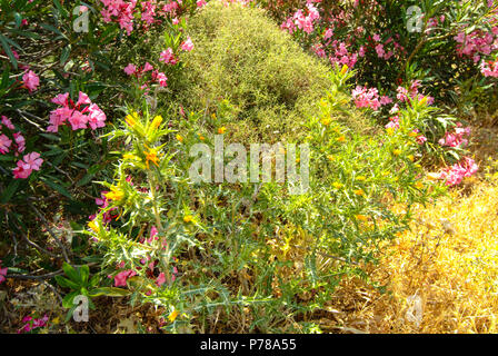 View of scrub and maquis vegetation with oleanders at the Mavrokolympos Dam in the Mediterranean island of Cyprus - area rich in butterflies - Stock Image