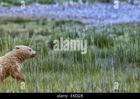 Cute blond Grizzly Bear Spring Cub, Ursus Arctos, running in sedge grass, Lake Clark National Park, Alaska, USA - Stock Image