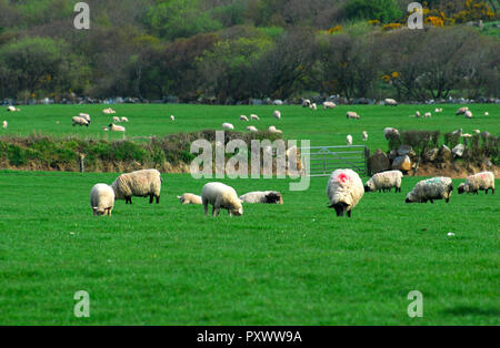 English typical sheep in green grass , Land's end Great Britain - Stock Image
