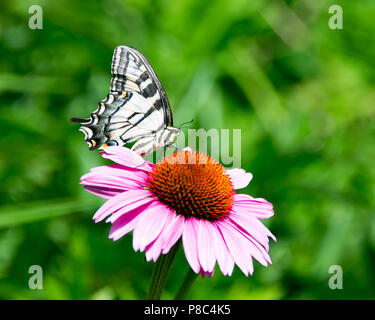 An eastern tiger swallowtail feeding on a pink cone flower in a garden in Speculator, NY USA - Stock Image
