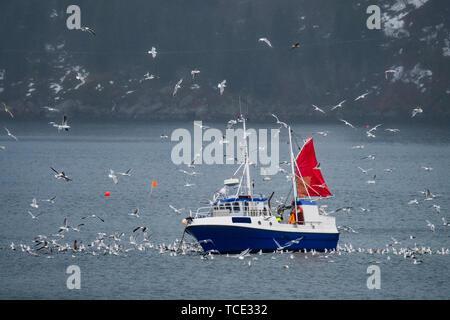 Fishing boat surrounded by birds between Svolvaer and Vestpollen, Lofoten, Nordland, Norway - Stock Image