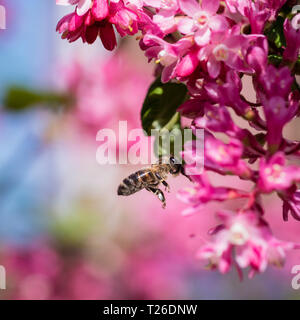 A honey bee in flight heading for a pink flowering currant plant. - Stock Image