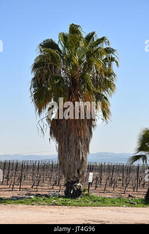 palm tree in israel - Stock Image