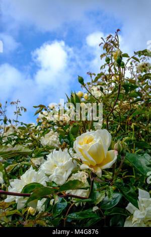 A blooming, climbing white rose bush with open flowers and buds against a rich blue summer sky. Buckinghamshire, - Stock Image