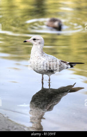 Close up of a juvenile ring-billed gull of the Laridae family of seagulls standing on the edge of a pond in Toronto, Canada, North America. - Stock Image