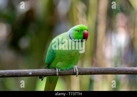 Green Alexandrine parakeet, living in Asian region, close up - Stock Image