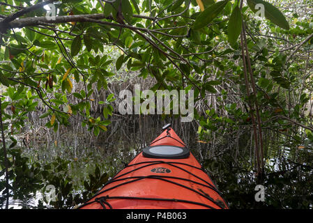 Kayak glides through wetlands mangrove forest, Everglades National Park, Miami, Florida, USA - Stock Image