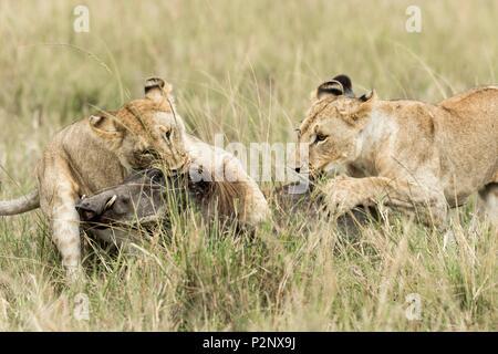 Kenya, Masai-Mara Game Reserve, lion (Panthera leo), females killing a warthog - Stock Image