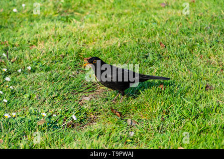 A male common European blackbird Turdus merula with a beak of grubs and worms collected from some short grass in the evening sun - Stock Image