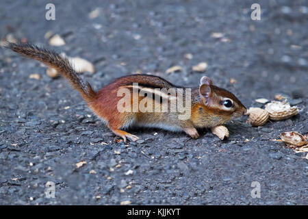 Chipmunk Eating Peanuts - Stock Image