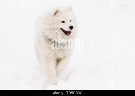 Young samoyed on a white snowy background - Stock Image