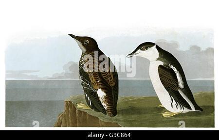 Marbled murrelet, Brachyramphus marmoratus, birds, 1827 - 1838 - Stock Image