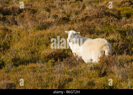 Welsh mountain sheep grazing in upland heather a hardy breed suited to the harsh hill and mountain ranges of Wales - Stock Image