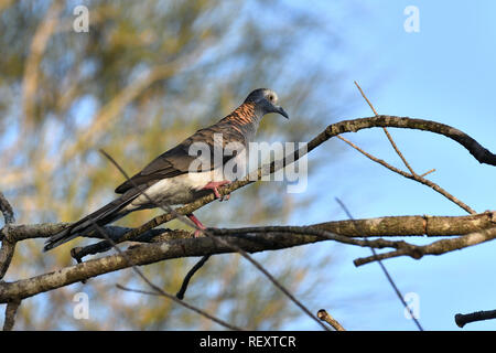 An Australian, Queensland Bar-shouldered Dove ( Geopelia humeralis ) perched on a branch in sunlight and shade - Stock Image