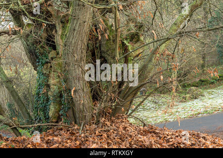 An ancient Sweet Chestnut tree, Castanea sativa, near the Old Church, Penallt, Monmouthshire. - Stock Image