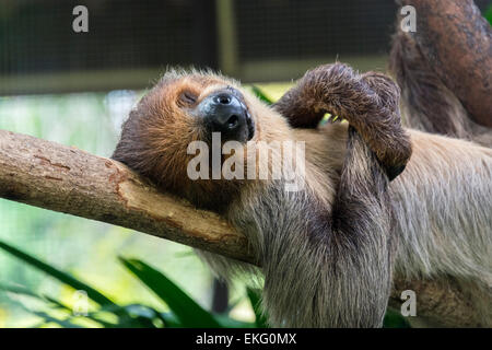 two toed sloth at Singapore Zoo Choloepus didactylus - Stock Image