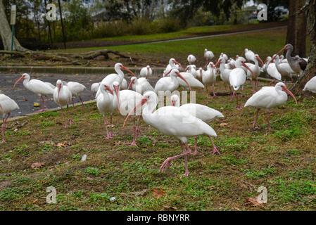 White Ibis congregate around an urban pond in Gainesville, Florida. - Stock Image