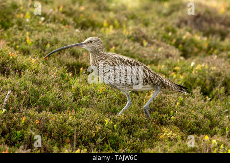 Curlew, adult Eurasian curlew in natural moorland habitat during  the nesting season.  Yorkshire Dales, England.  Landscape, space for copy. - Stock Image