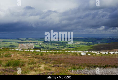 Sheep grazing on open moorland on Bulbeck Common near Blanchland in County Durham, England, UK. - Stock Image