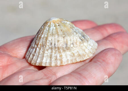 Person holding Common Limpet Shell Patella vulgata - Stock Image